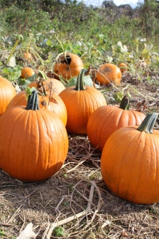 paulus_pick-your-own-pumpkins-2