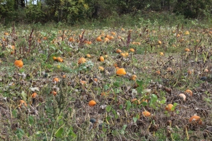 paulus_pick-your-own-pumpkins
